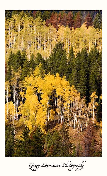 Aspens Are Turning