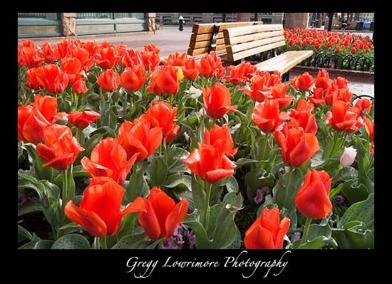 Tulips on Pearl Street, Boulder Colorado