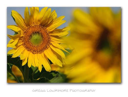 Sunflower Peeking Through