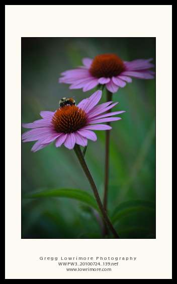Busy Bee on Echinacea