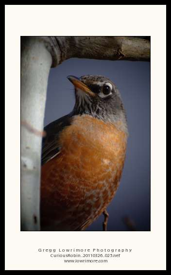 Curious Robin 20110326 025