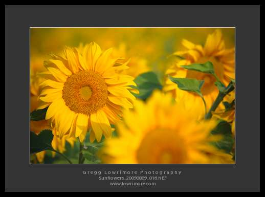 Sunflowers 20090809 016
