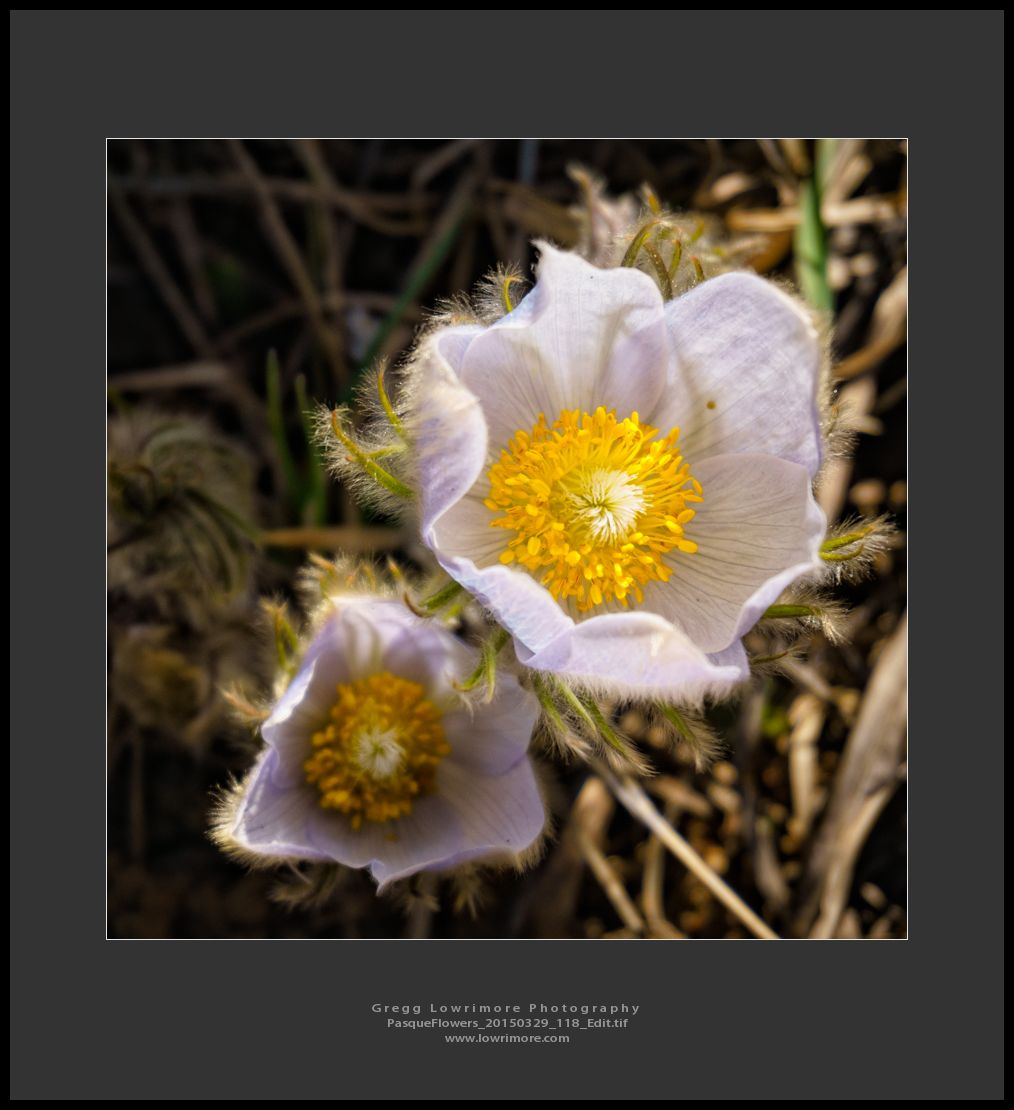 Pasque Flowers 20150329 118