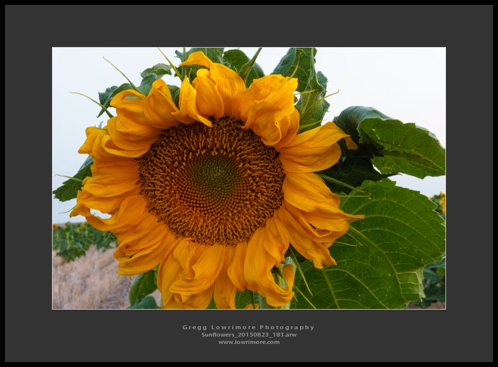 Sunflowers 20150823 183