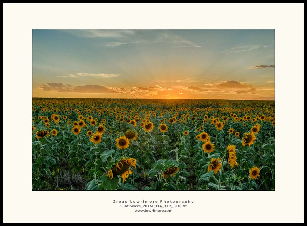Sunflowers 20160814 112_HDR
