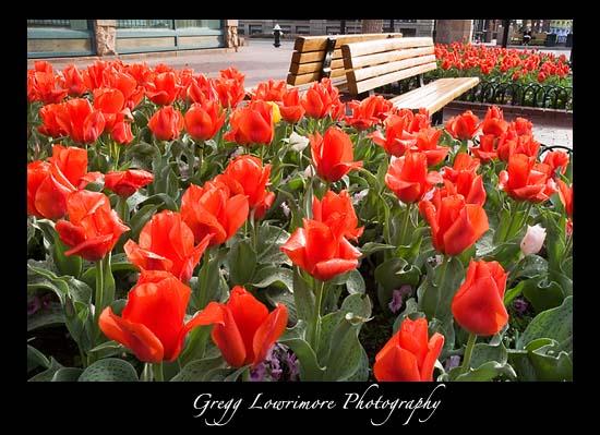 Tulips on Pearl Street, Boulder Colorado