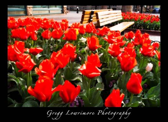 Tulips on Pearl Street, Boulder Colorado -- Dreamy-effect