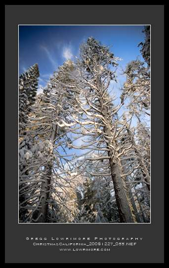 Frosted Pines