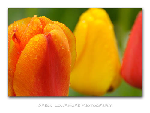 Tulips, Red and Yellow