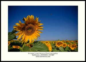 Sunflowers - Bees Buzzin'