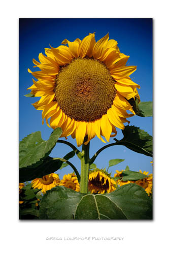 Sunflowers - Standing Tall