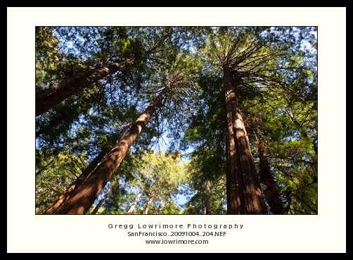 Redwoods in Sunlight