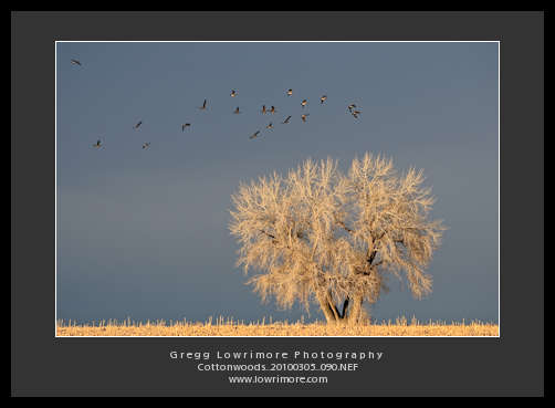 Cottonwood With Geese Lighting