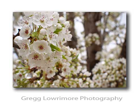 Springtime Fruitless Pear Blooms