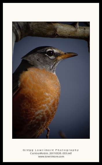 Curious Robin 20110326 033
