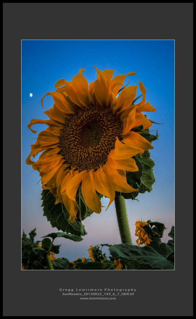 Sunflowers 20150823 145_6_7_HDR