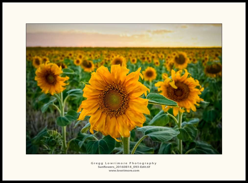 Sunflowers 20160814 093 Edit
