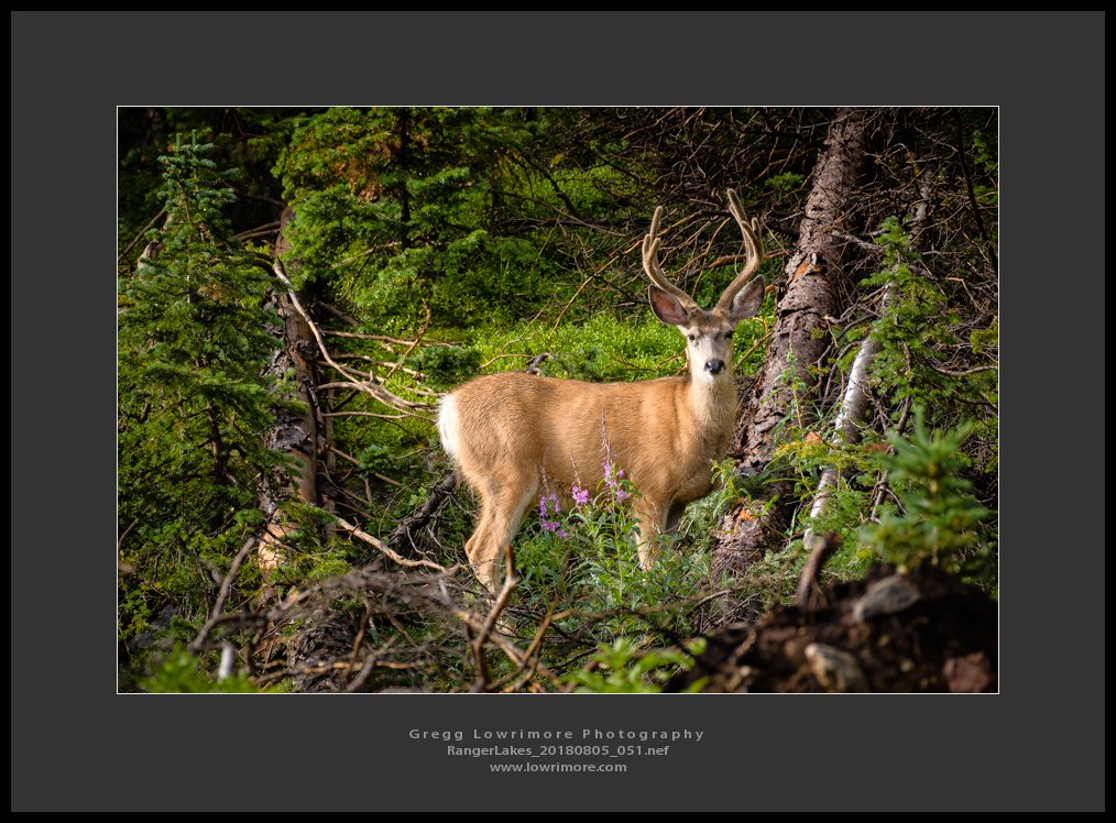 Young Whitetail Buck - Ranger Lakes 20180805 051